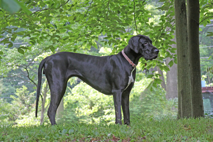 Champion female Great Dane