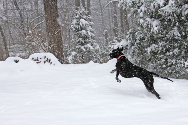 Great Dane enjoying the snow